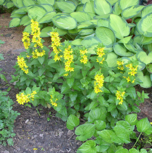 Landscaping plants yellow flowers for Plant with tall spikes of yellow flowers